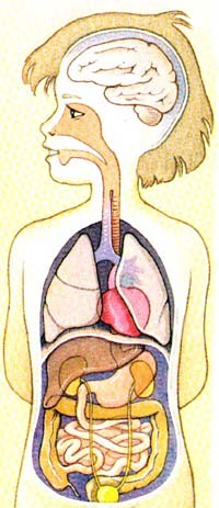 Dessin Corps Humain Organes le corps humain et ses organes - les bons tuyaux